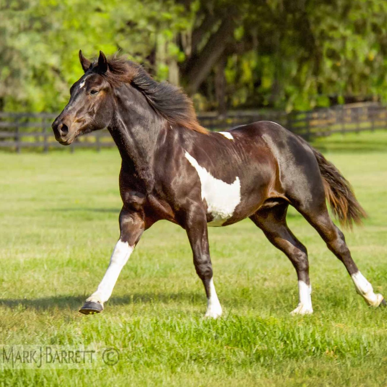 Handsome Brown And White American Paint Horse Running On Gr