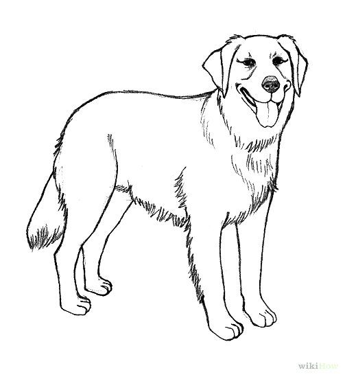 Line Drawing Golden Retriever : Realistic golden retriever coloring pages how to draw a