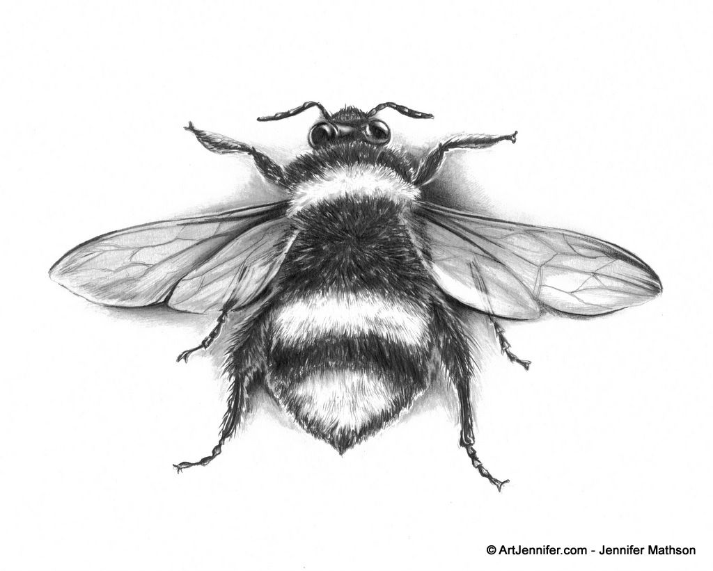 bee insect scientific specimen drawing artjennifer tattoo