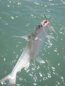 gafftopsail-catfish