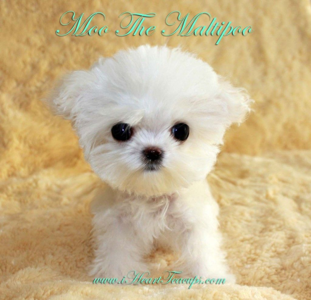 MICRO TEACUP MOO! PLATINUM PUPPY! Breed Teacup Matipoo