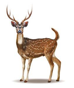 Game Deer Species Binatang Lucu Hewan Binatang