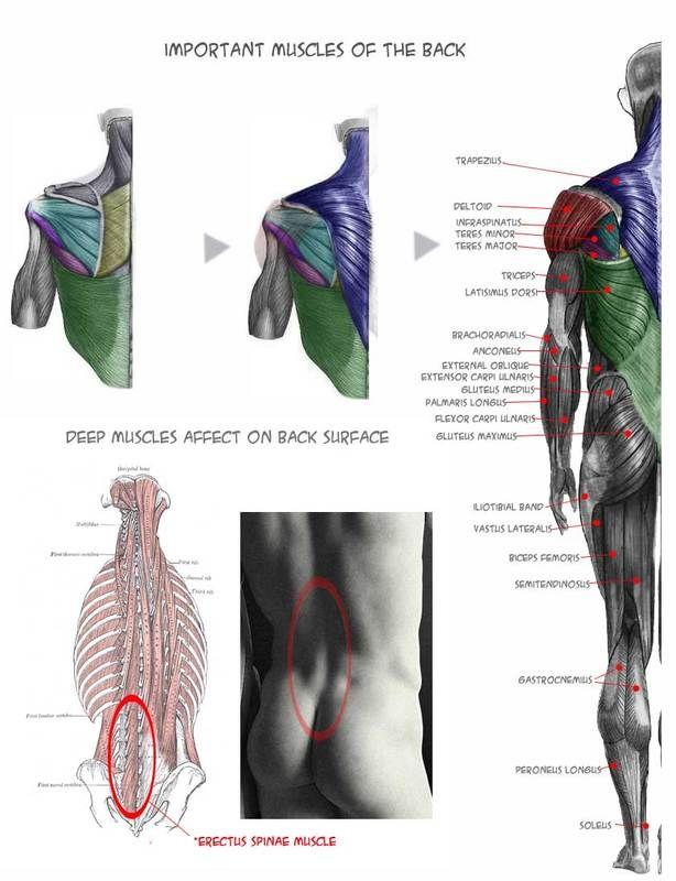 Musculos importantes de la espalda. #Anatomia para dibujo | anatomy ...