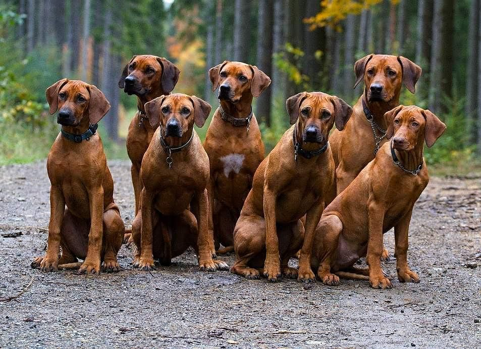 Funny Pictures Of Rhodesian Ridgeback Dogs
