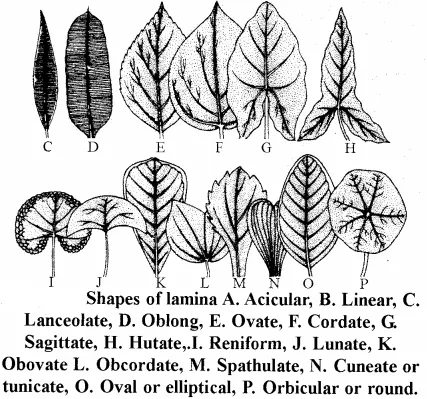 Rbse Solutions For Class 11 Biology Chapter 19 Leaf External Morphology Rbsesolutions Rbsesolutionsforclass11biolog Morphology Biology Morphology Biology