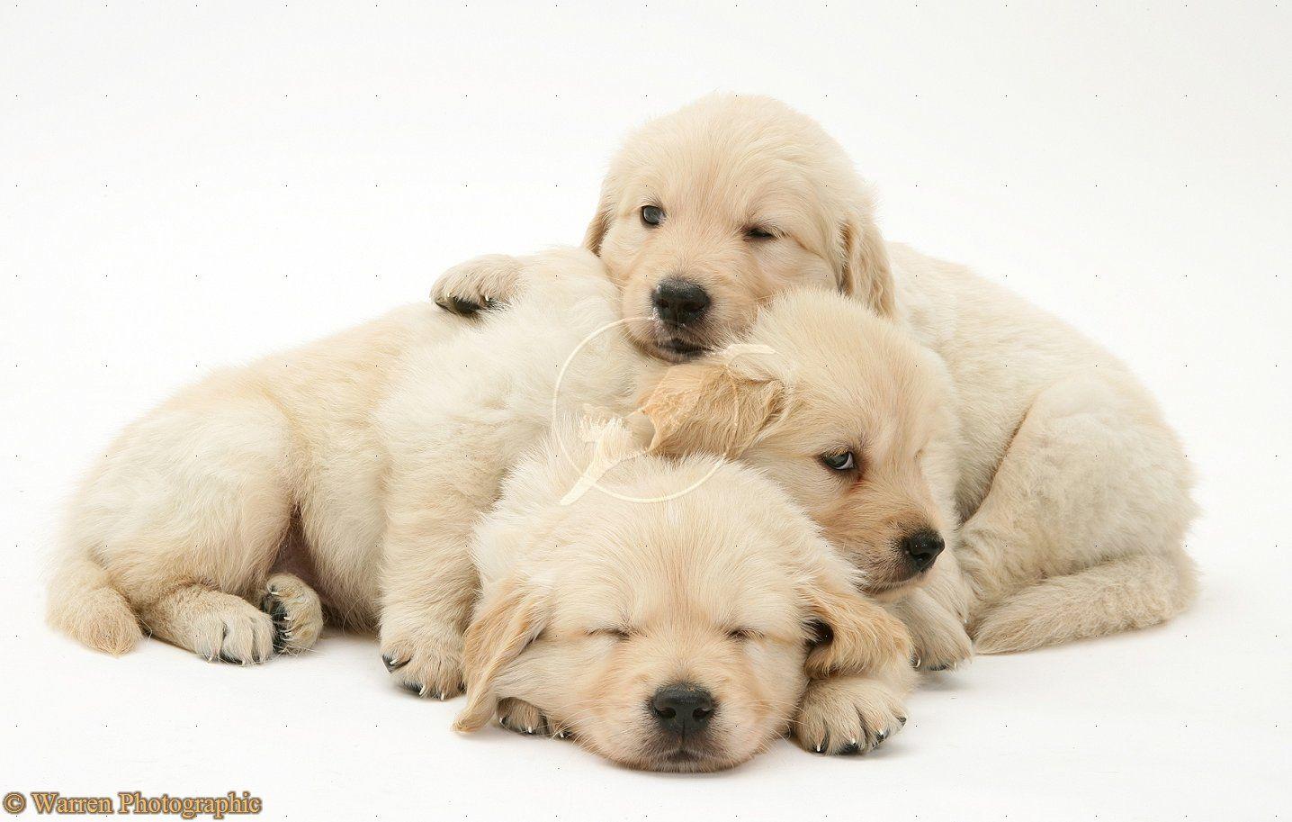 White lab puppies for sale colorado