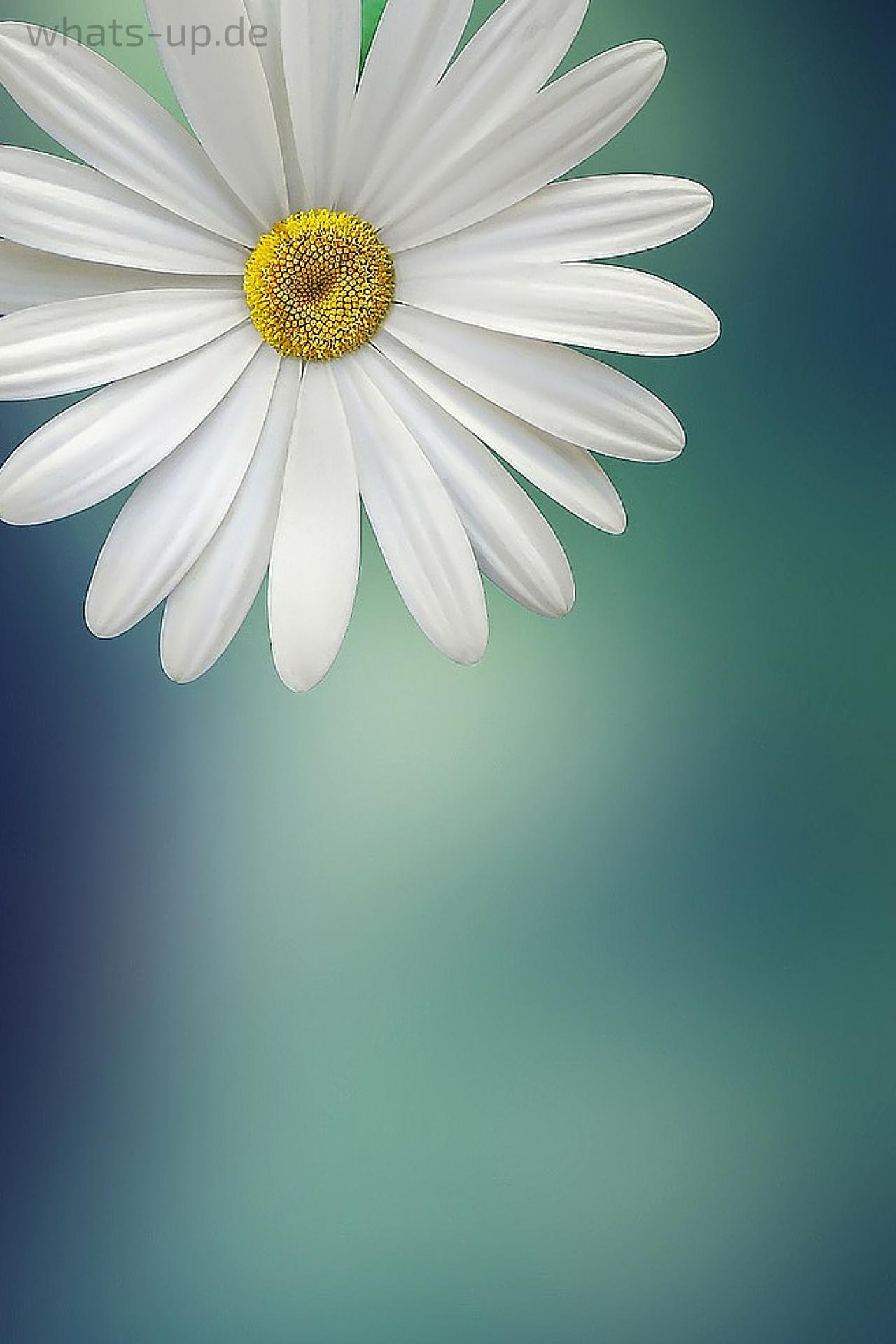 Blume als Hintergrundbild für WhatsApp ändern, Wallpaper gratis downloaden