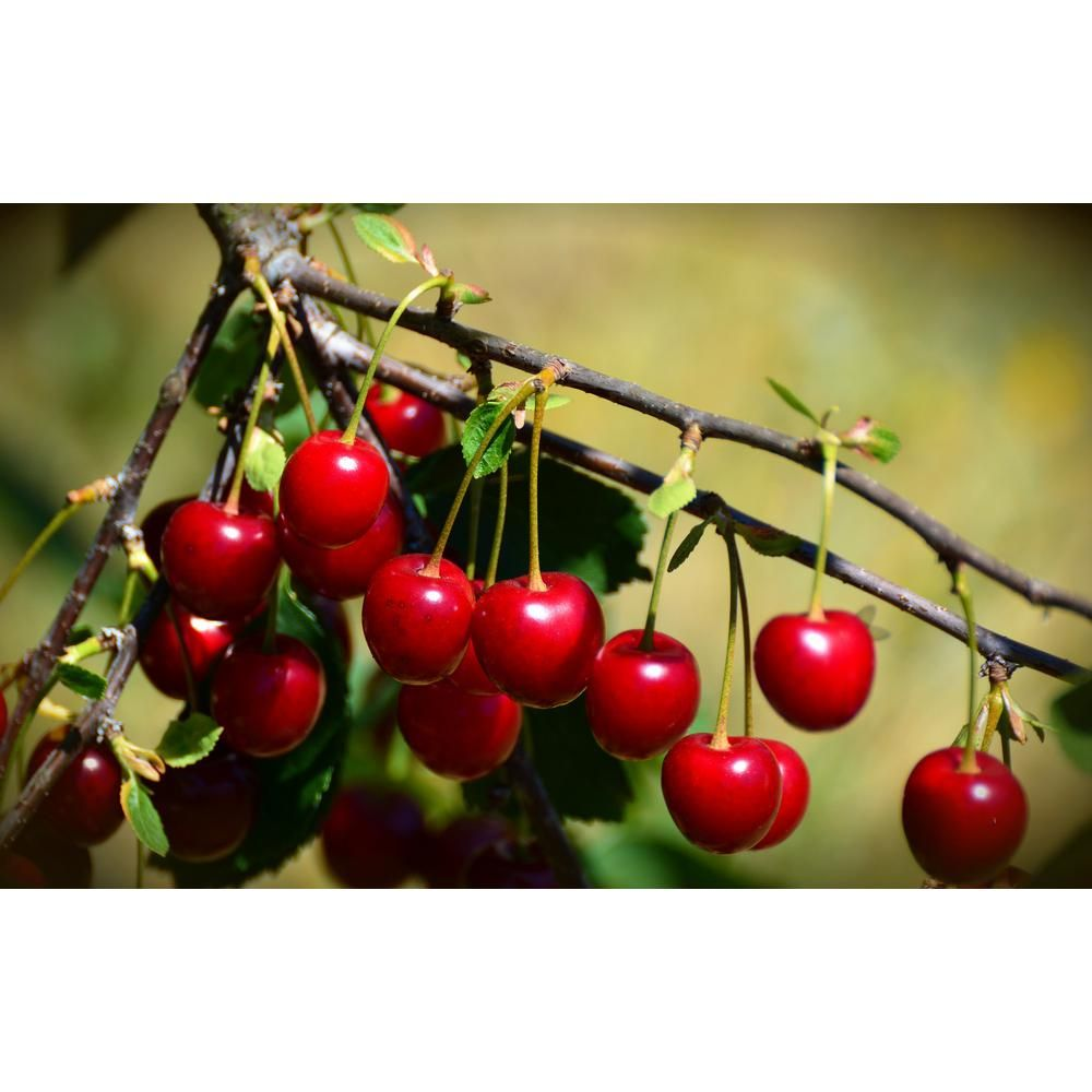 Online Orchards 3 Ft 4 Ft Tall Bare Root Montmorency Pie Cherry Tree Fruit Sour Cherry Cherry Fruit