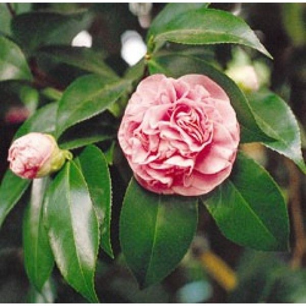 Camellia Debutante Camellia Japonica Hybrid Zone 7 Hardiness Zone With Images Japonica Camellia Planting Flowers