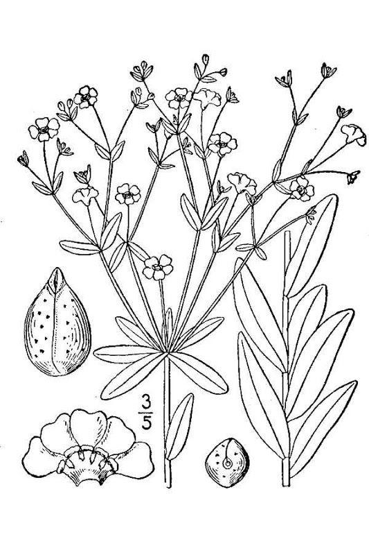 prairie babys breath flowering spurge line drawing