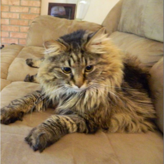 mancoon cats The history of the maine coon is a rich, diverse topic open to debate some stories say the coon has descended from marie antoinette's prized cats, which were.