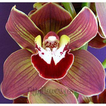 Novelty Cymbidium Orchids Lime Yellow Burgundy Chocolate 250 Cymbidium Orchids Orchids Most Beautiful Flowers