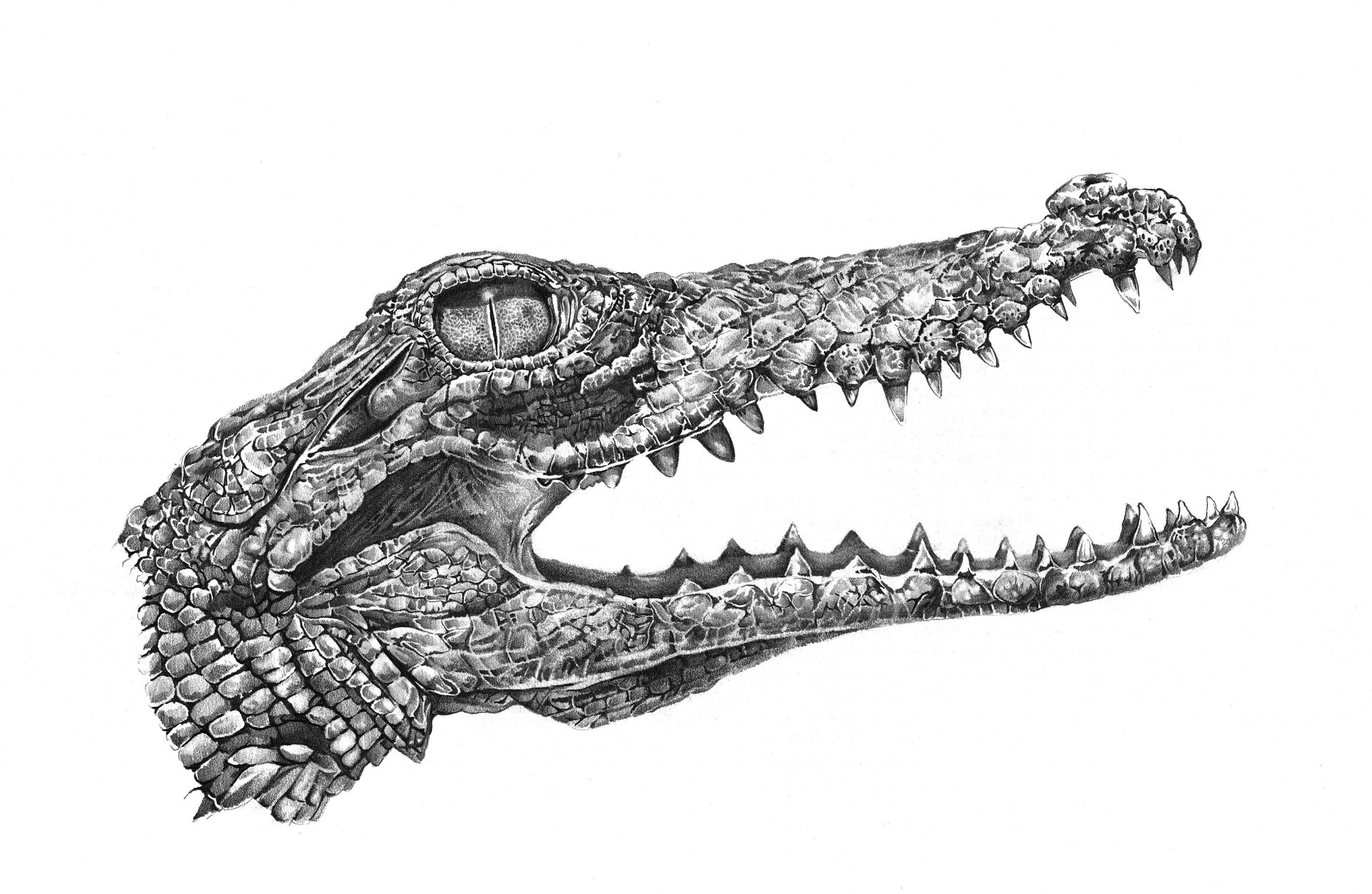 когда крокодил картинка карандашом порыв информации, нашел