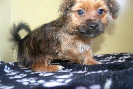 Shorkie Tzu puppy for sale in PATERSON, NJ. ADN28158 on