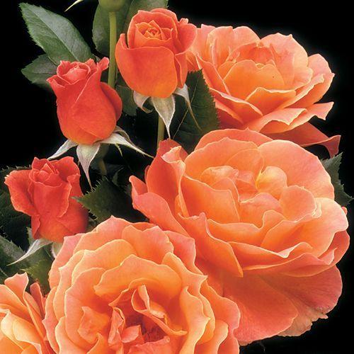 U0027LIVINu0027 EASYu0027™ Floribunda Rose. U0027