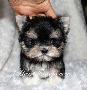 Micro Morkies Micro Teacup Morkie For Sale Mimi Iheartteacups Teacup Puppies Maltese Maltese Puppy Morkie