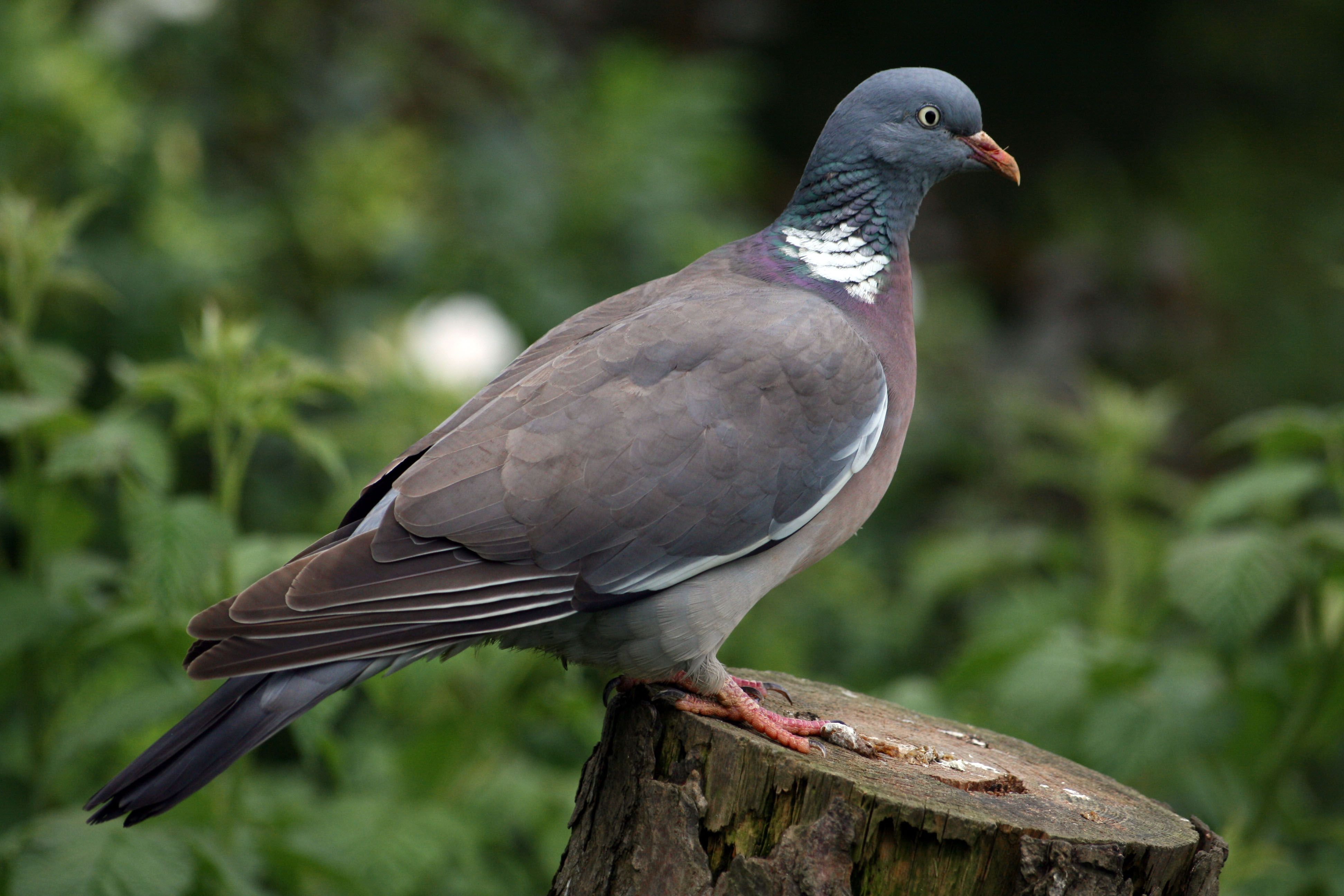 Common Wood Pigeon Alchetron The Free Social Encyclopedia