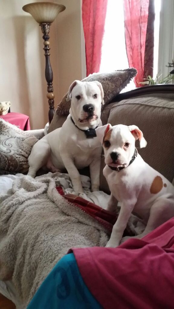 Pin On American Bulldog