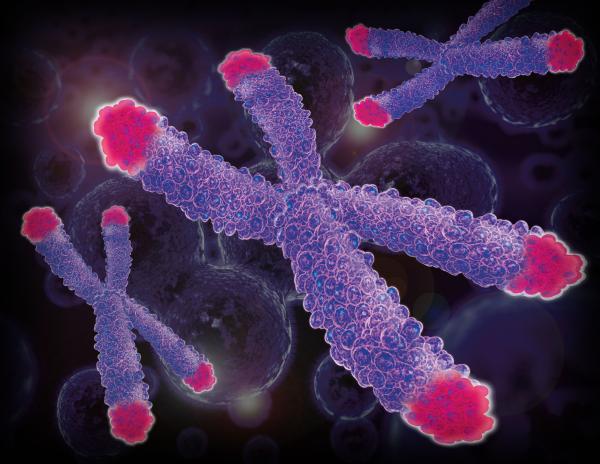 Il nostro sistema immunitario invecchia insieme a noi. Segno di invecchiamento è l'accorciamento dei telomeri, scudo di protezione dei cromosomi, che si ac