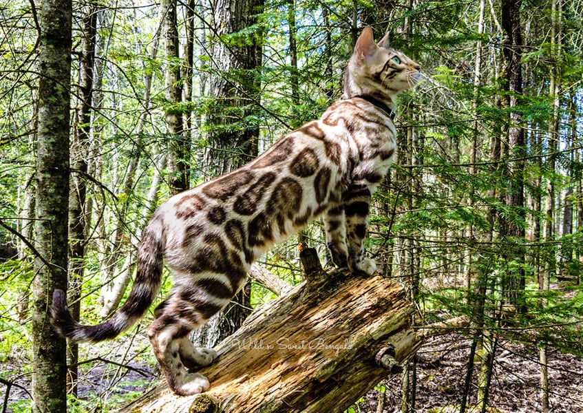 Bengal Kittens Cats For Sale Near Me Wild Sweet Bengals Bengal Kitten Bengal Cat Bengal Cat For Sale