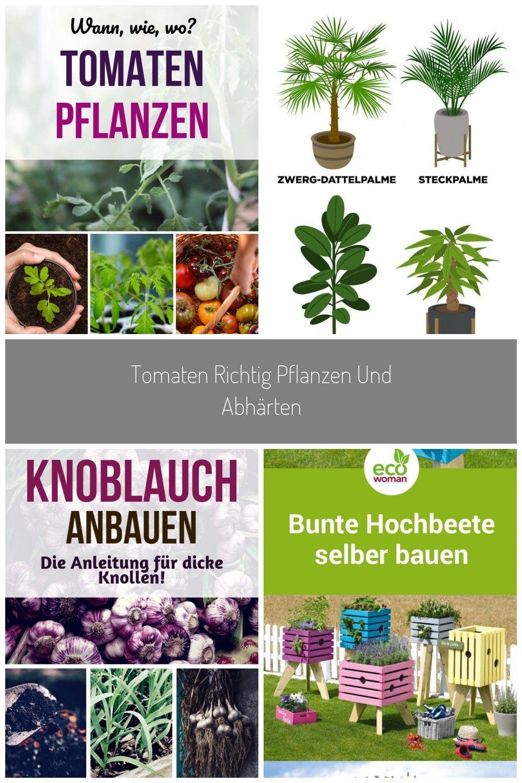 Du Hast Tomatenpflanzen Gekauft Oder Selbst Vorgezogen Und Mchtest Sie Jetzt In Deinen Garten Pflanzen Das Trifft In 2020 Pflanzen Tomaten Pflanzen Knoblauch Pflanzen