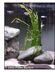 Picking the correct plants for your cichlid tank