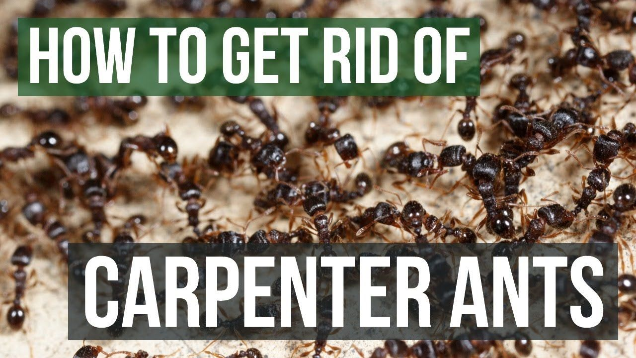 how to get rid of winged ants in your house