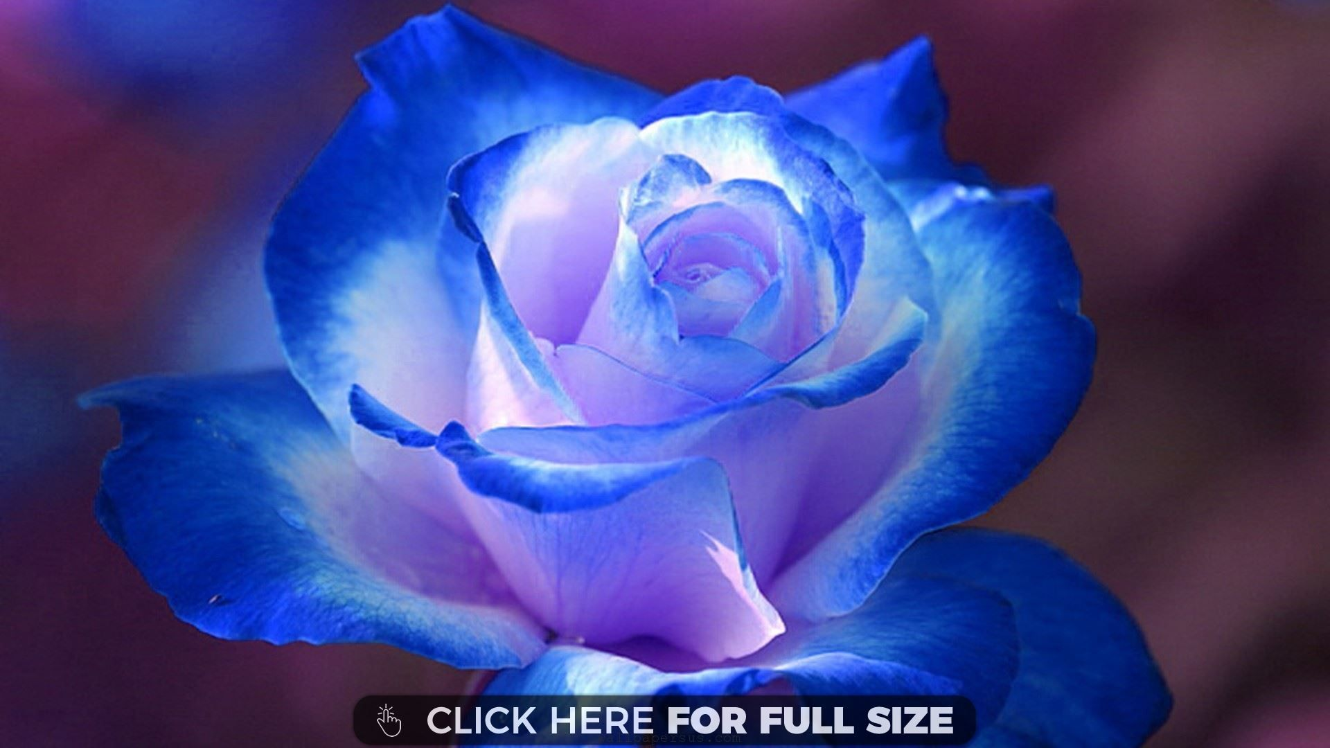 Rose Flower Picture Flip Wallpapers Download Free Wallpaper Hd Blue Roses Wallpaper Rose Flower Pictures Beautiful Flowers Wallpapers