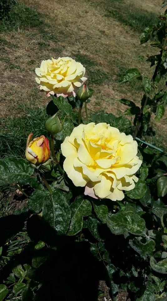 Considerata una delle rose più belle del mondo e simbolo ...