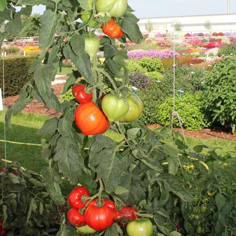 """Tomate F1 Gourmandia est une tomate généreuse (250g) de la famille des """"coeurs de boeuf ..."""