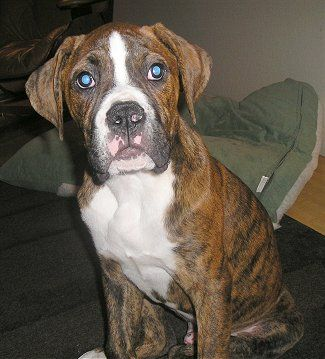 American Bulldog Boxer Mix Breed Sam The Bulloxer Puppy At 4
