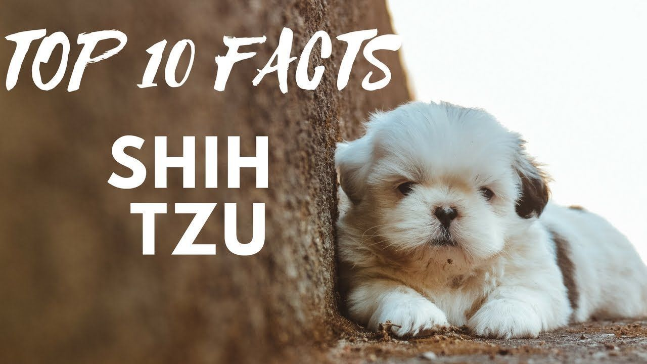 Shih Tzu Top 10 Interesting Facts Youtube Shih Tzu Pinterest