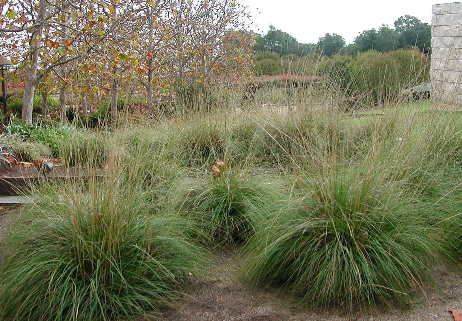 fairy yardmother landscape design  muhlenbergia rigens deer grass muhlenbergia rigens deer grass