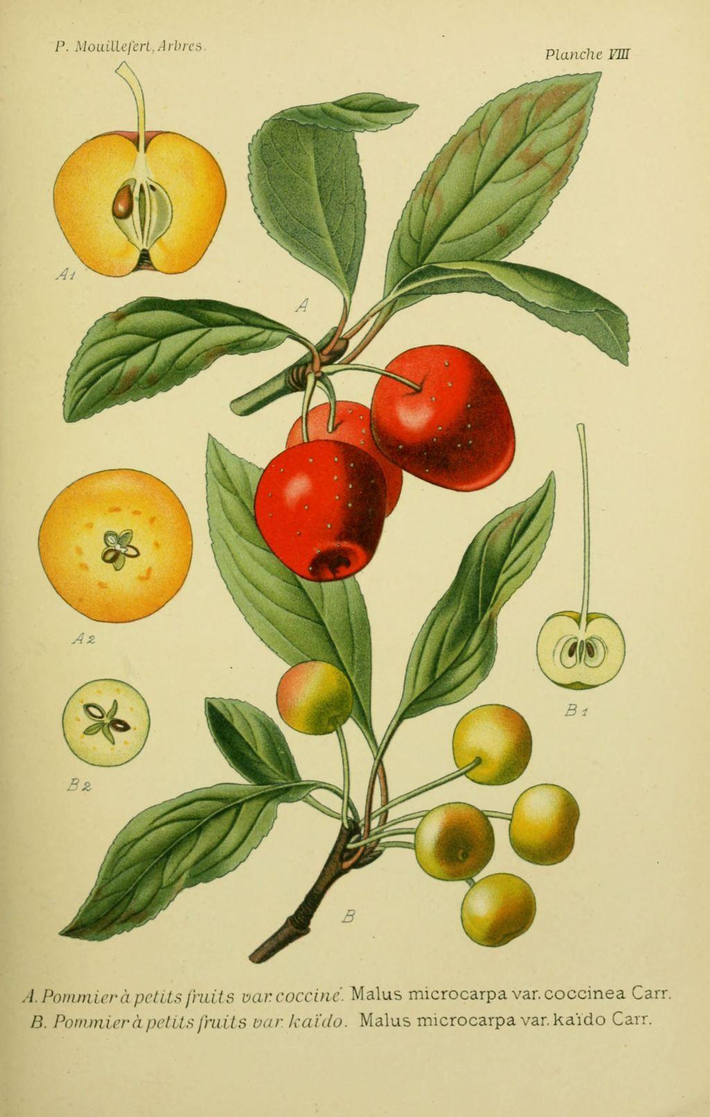 Dessins Arbres Et Arbrisseaux 0057 Pommier A Petits Fruits Coccine Malus Microcarpa Coccinea Jpg D Dessin Arbre Gravures Botaniques Anciennes Dessin Fruits