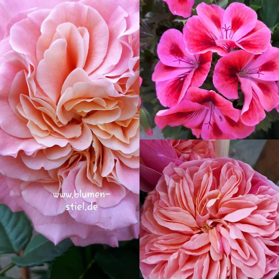 Duftende Freilandrosen und Englische Geranien aus der regionalen Gärtnerei #rose #rosa #rosen #nature #love #geranie #ausderregion #farbenpracht #gardenroses #flower #flowerlover #blumenstielsinabertsch