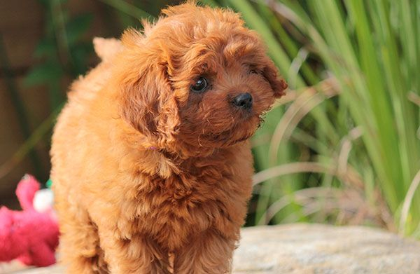 our prancing baby girl. cavapoo puppy Cavapoo puppies