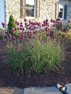Drumstick Alliums Summer Bloom Allium Garden Garden Pests Allium Flowers