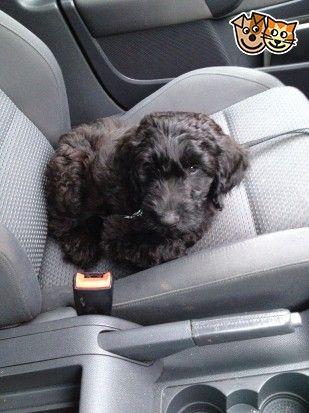 Black Male Flat Coat Retriever Poodle Cross Pup Verwood Dorset Pets4homes Flat Coated Retriever Poodle Pup