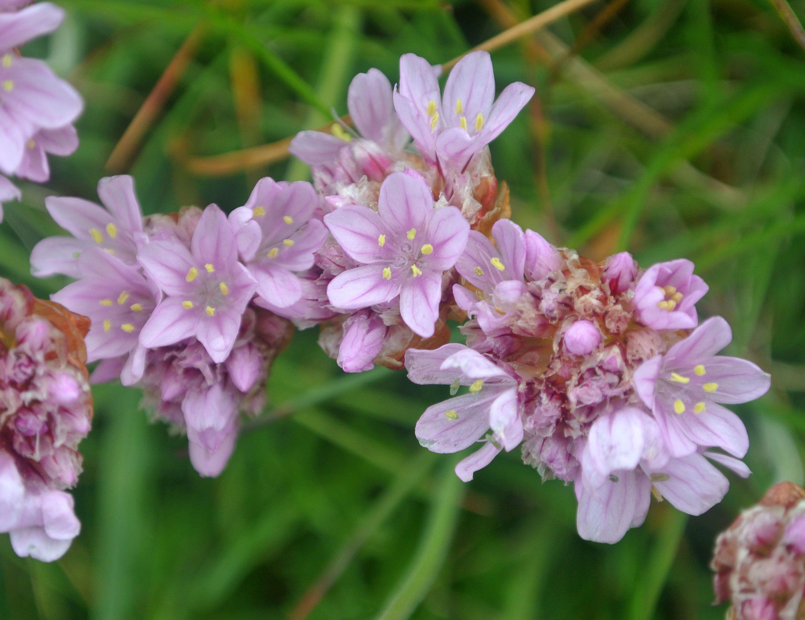 Armeria maritima Head.jpg Flowers perennials