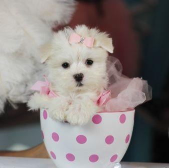 3 3 3 Myrna The Teacup Maltese For Sale 3 3 3 954 353 7864 Teacup Puppies Maltese Puppy Teacup Puppies Maltese