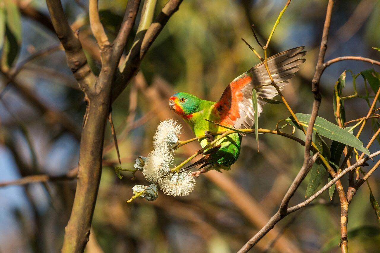 Parrots V Possums