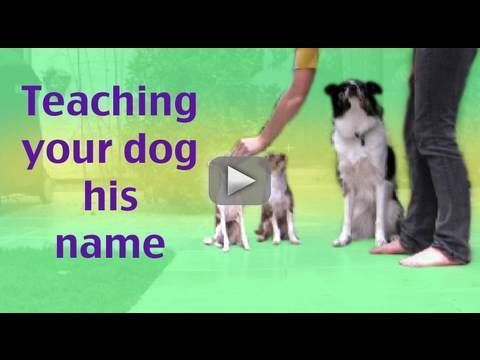 How To Teach Your Dog His Name Dog Training Tip Of The Day