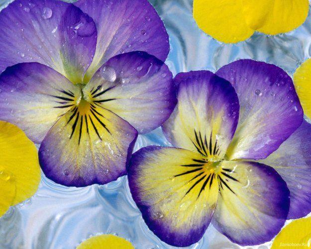Colourful Violas Yellow Flower Wallpaper Purple Flowers Wallpaper Pansies Flowers