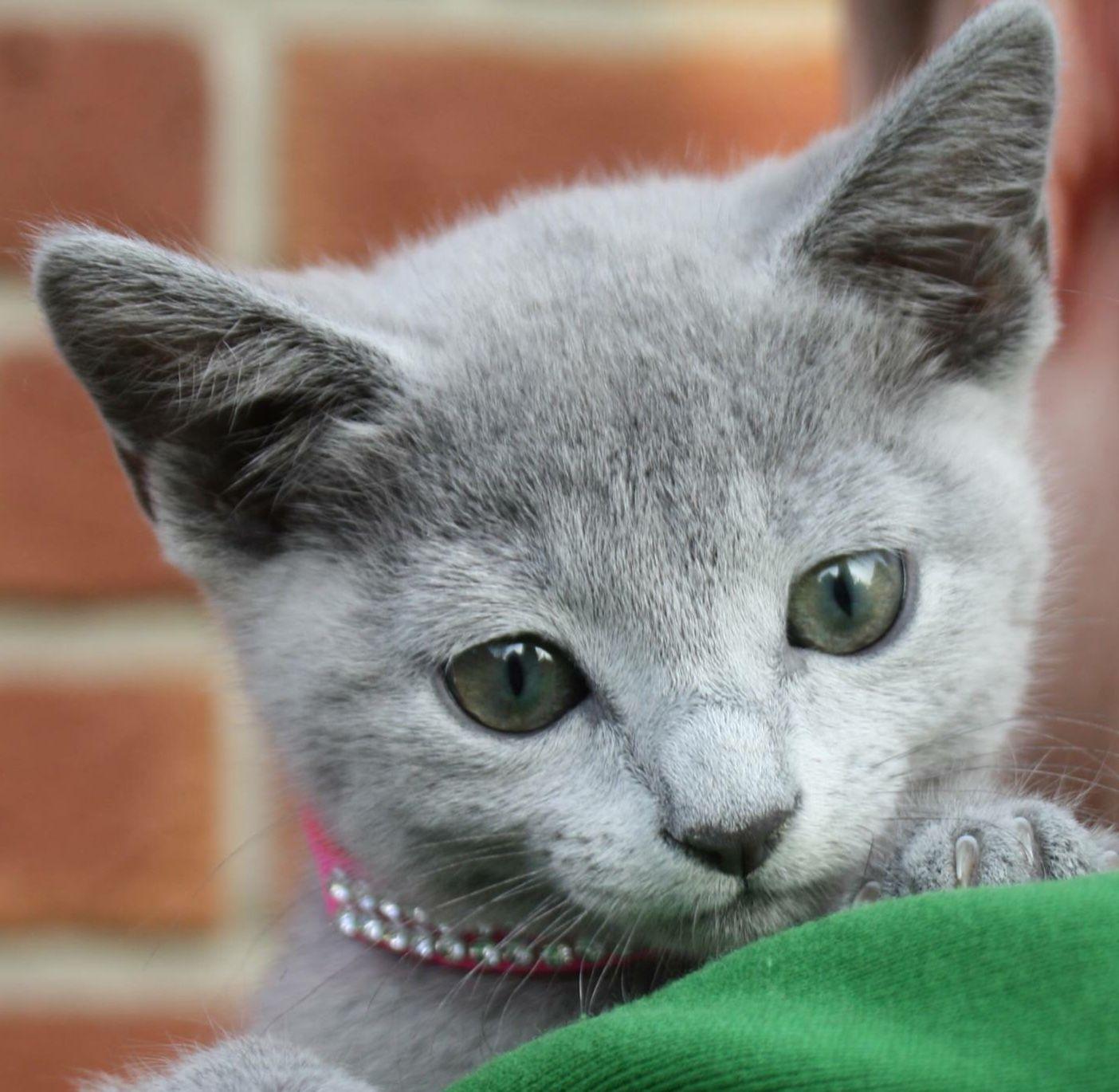 「Russian blue cats」おしゃれまとめの人気アイデア|Pinterest|JD 猫, ネコ