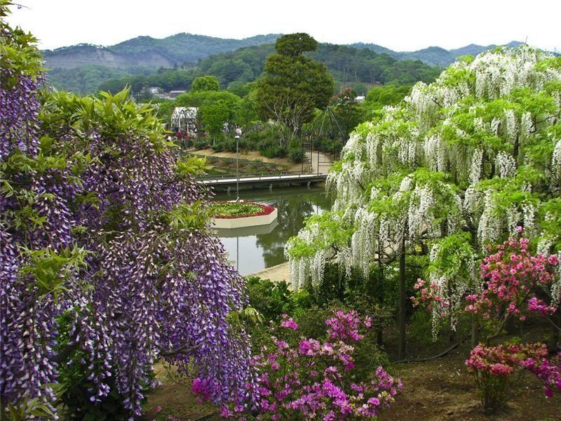 wisteria varieties