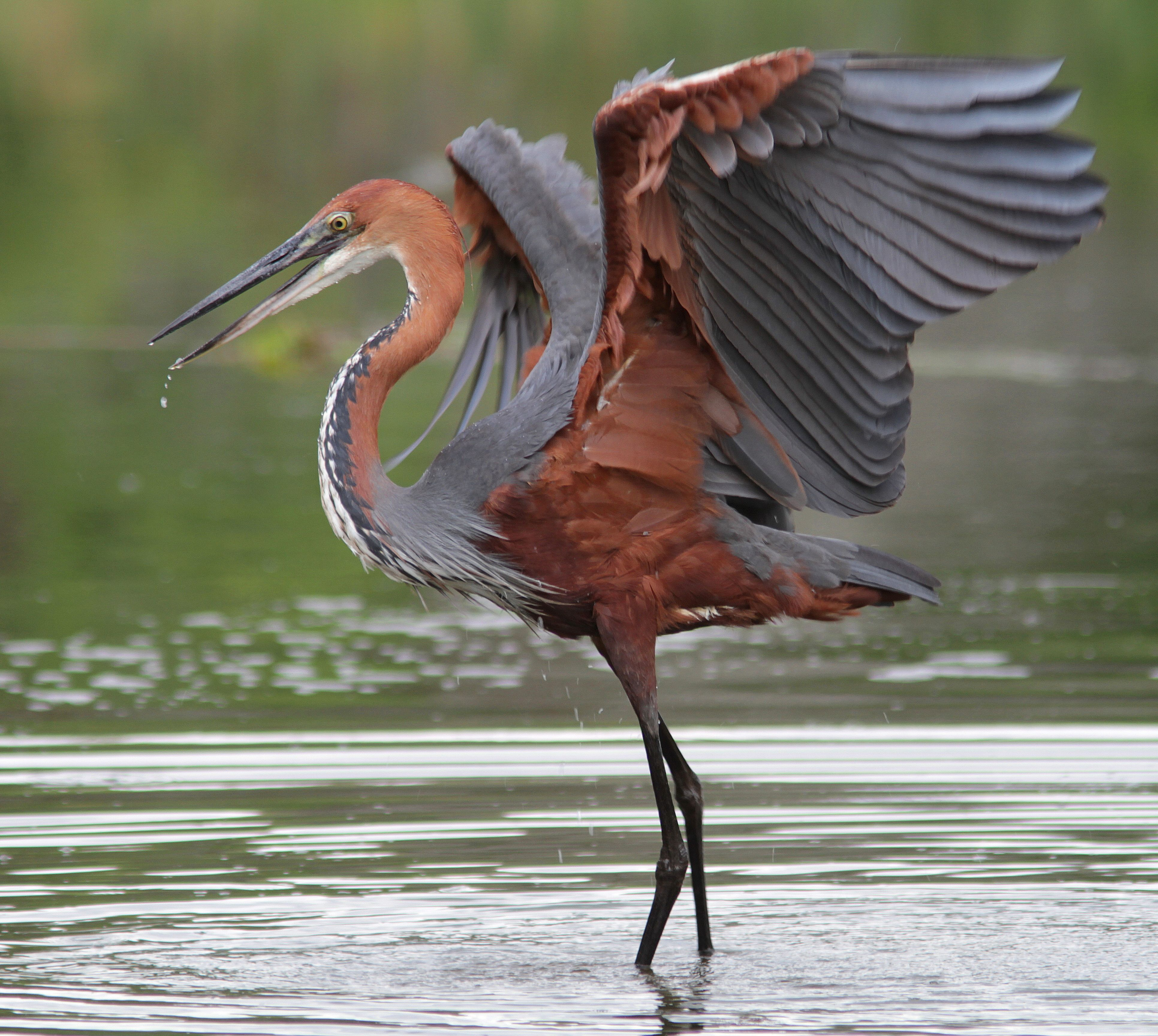Goliath Heron (Ardea goliath) | Nature birds, Pet birds, Beautiful birds