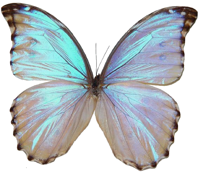 Png Polyvore Butterfly Butterfly Pictures Butterfly Art Morpho Butterfly