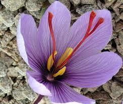 zafferano  delicato fiore spezia preziosa  www.lepiantearomatiche.it