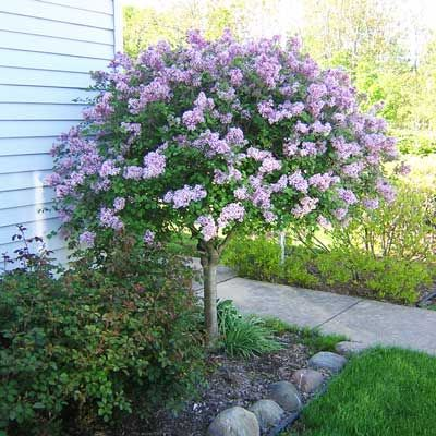 Image result for Dwarf Korean Lilac on Standard (Syringa meyeri 'Palibin')