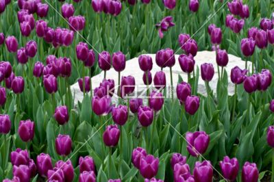 Purple Tulips and White Stone - Purple tulips and white stone together in a garden.
